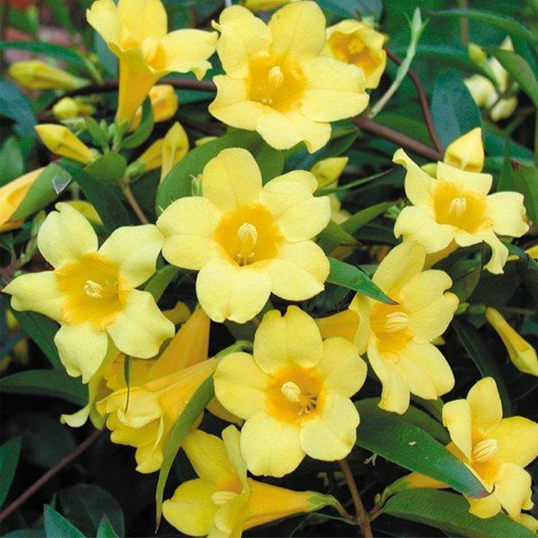 Yellow jasmine - not really a Jasminium, a Gelsemium