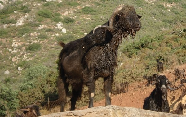 This goat is coated with labdanum resin because he grazes on hillsides covered in the fragrant plant. Photo by Dimitris Nykarsis