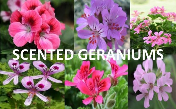 Scented geraniums have delicate, beautiful flowers that also carry the scent of the particular variety