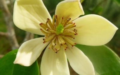 A Banana-scented flower for Delight
