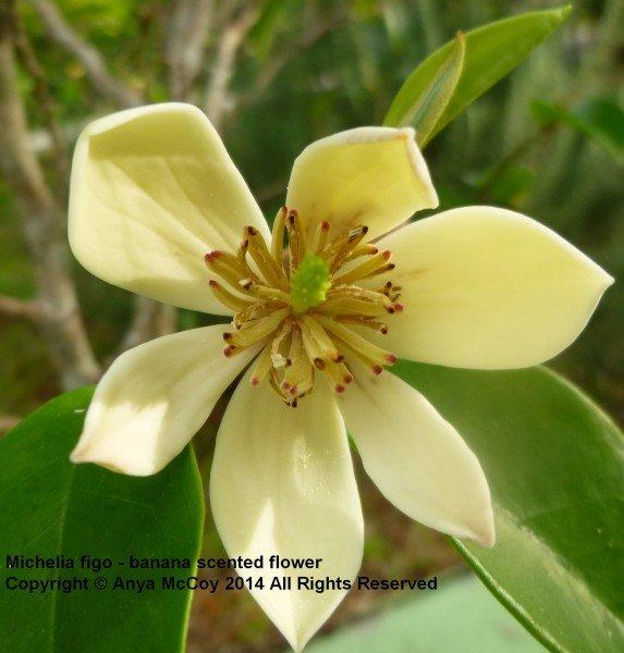 Michelia figo - banana-scented flowers
