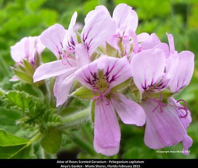 attar of roses scented geranium flowers