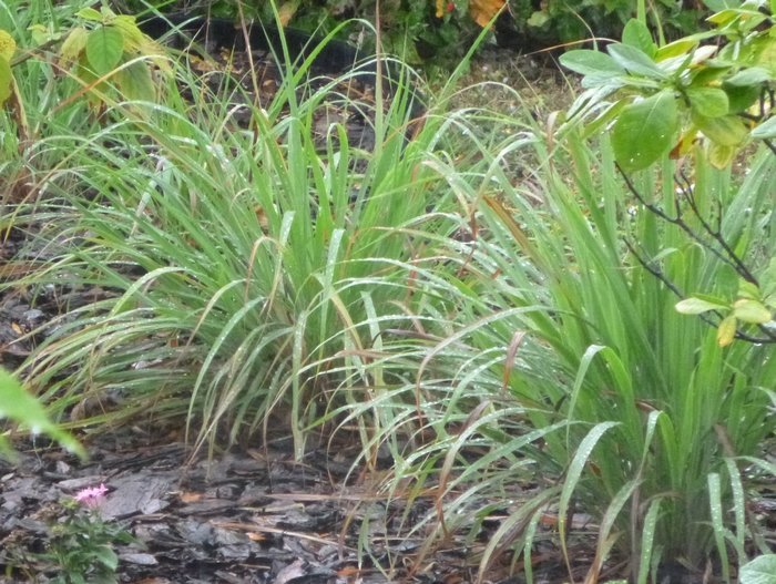 West Indian lemongrass, C. citratus, with wider leaves, rounded growth habit.