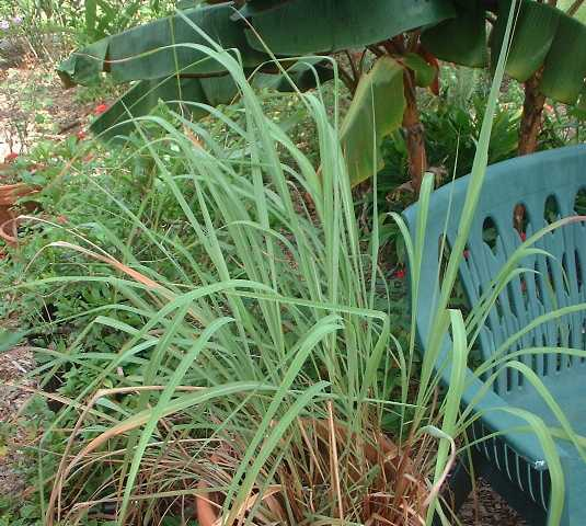Cymbopogon flexuosus aka East Indian lemongrass. Notice the base of the stalks is not swollen, it's a slender stem.