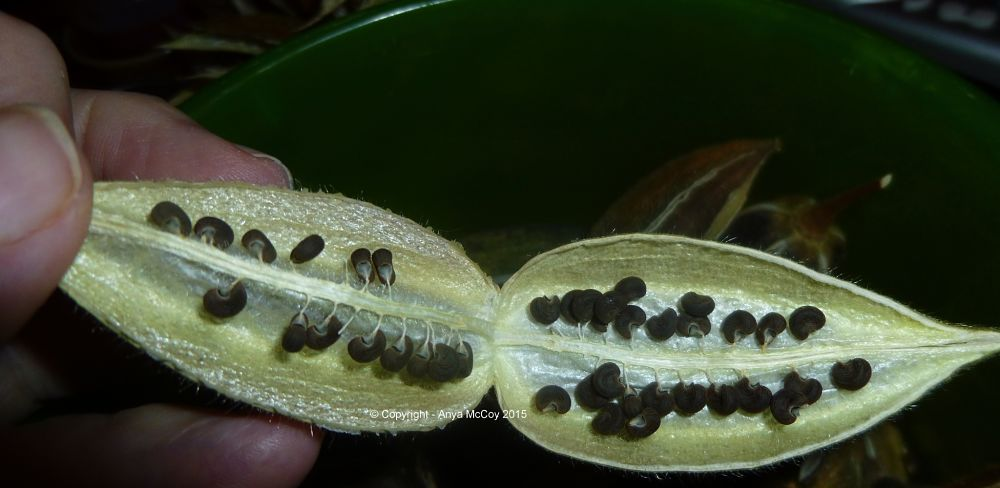 Interior of ambrette seed locule, showing funiculus still attached to ripe seeds.