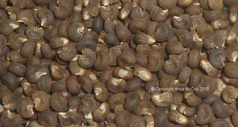 Closeup of harvested ambrette seeds