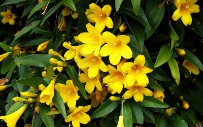Destroying my Carolina Jessamine perfume plants!