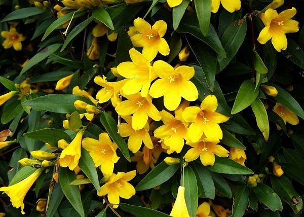 Yellow jasmine, aka yellow jassamine, Gelsemium sempervirens, is very toxic to honeybees