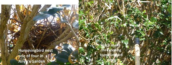 hummingbird nests in orange jasmine tree