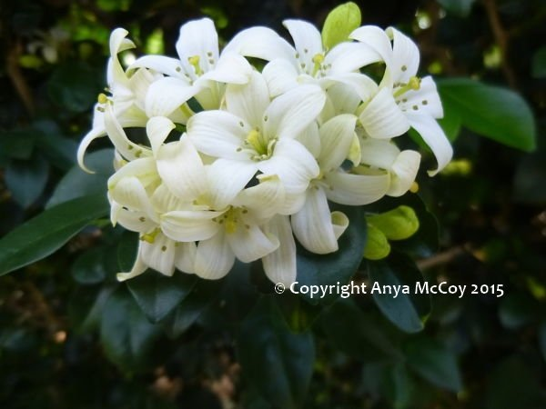 A lovely orange jasmine cluster of flowers