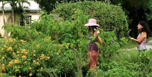 Angie and Julia harvesting the Cornutia grandifolia leaves