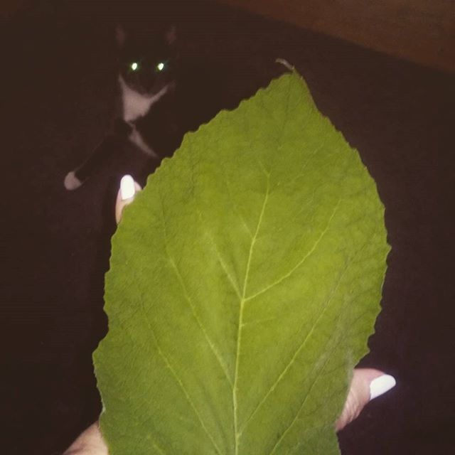 Cornutia leaf covering my hand - with Lulu looking on