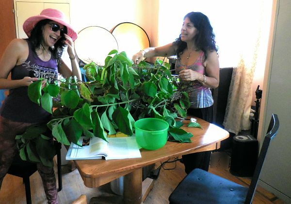 Angie and Julia starting to process the leaves for the distillation pot. It soon got serious and focused, with the three of us around the table. We then weighed the leaves, and got over four pounds for the hydro pot and the steam column.